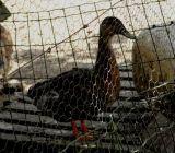 le beau canard