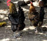 Les belles poules