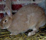 le beau lapin